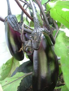 No phots of Asparagus Peas yet, for obvious reasons. So here's my eggplant, with a good dozen eggs in the brood.