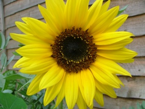 yellowsunflower